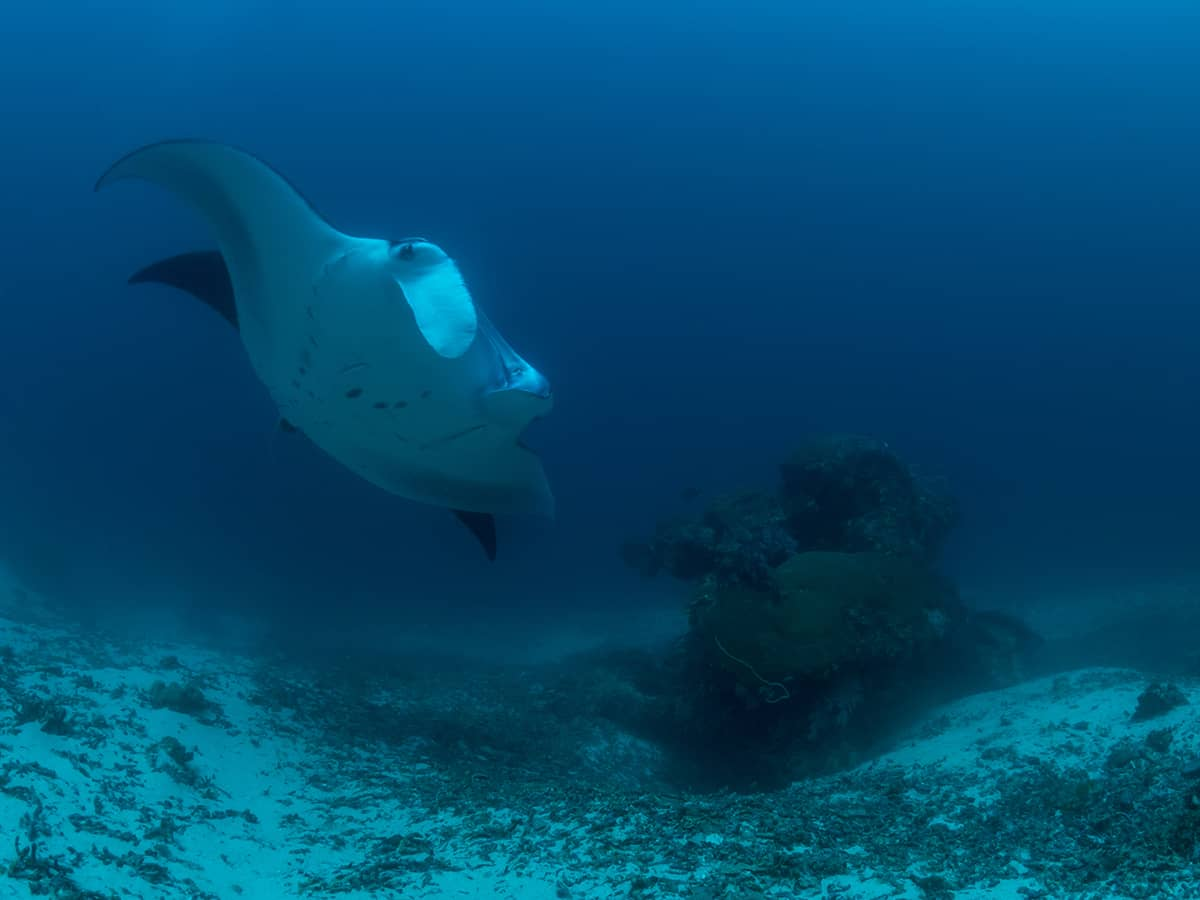 Two mantas at dive site Manta Sandy.