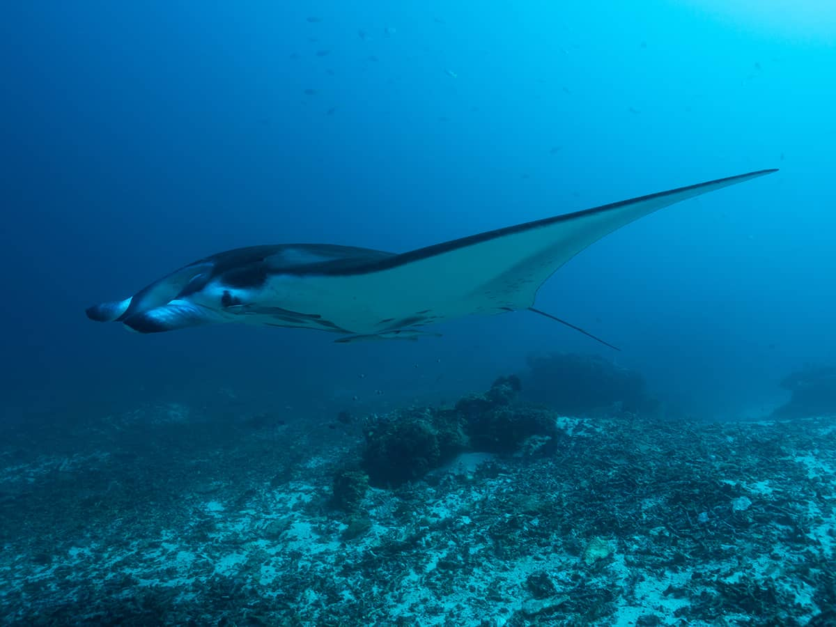 Diving with manta rays in Raja Ampat.