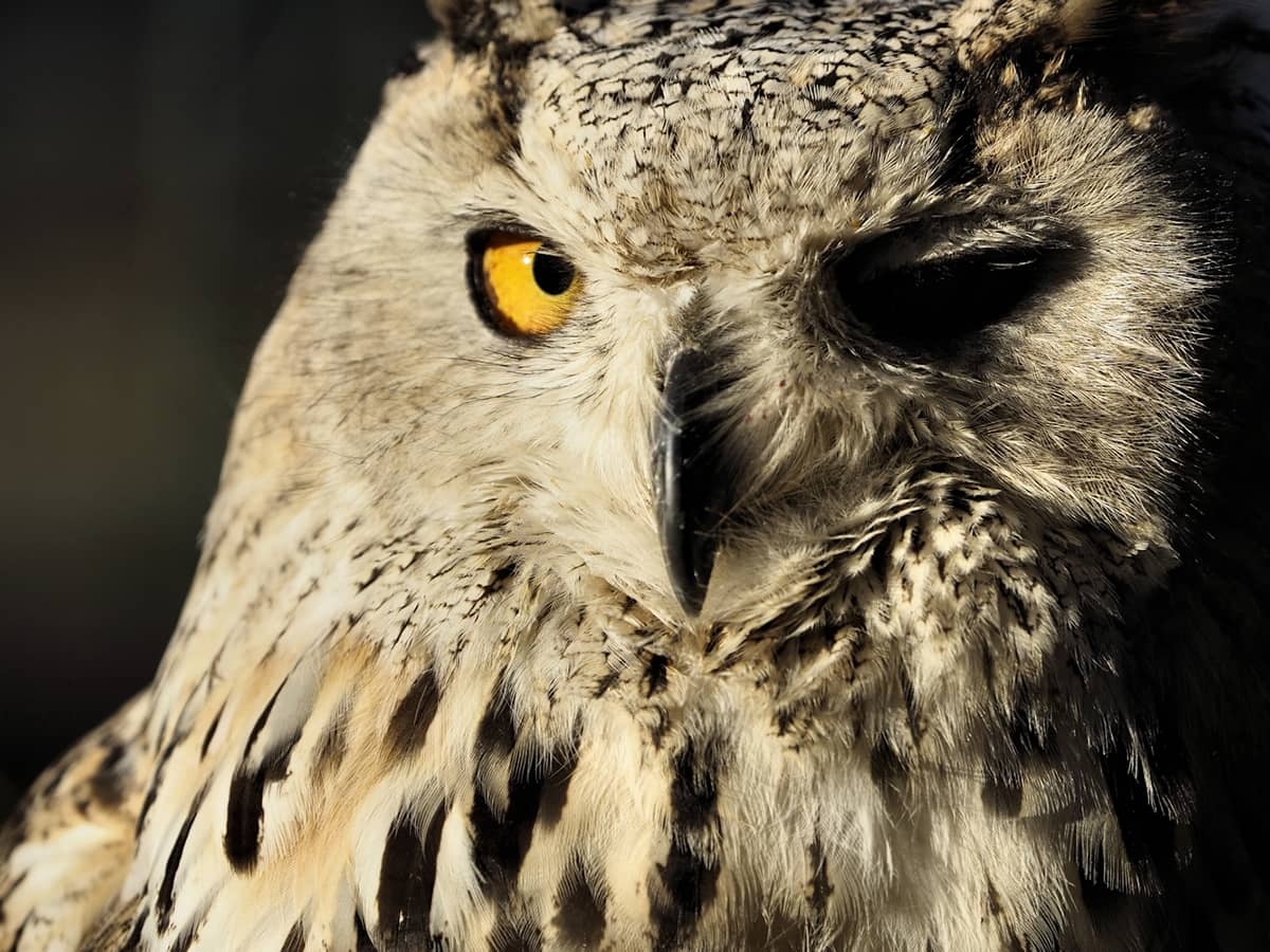 Owl with one closed eye.